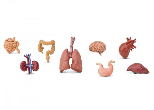 Menschliche Organe - Meine Sammlung