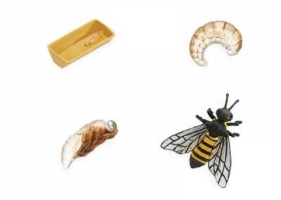 Lebenszyklus Biene